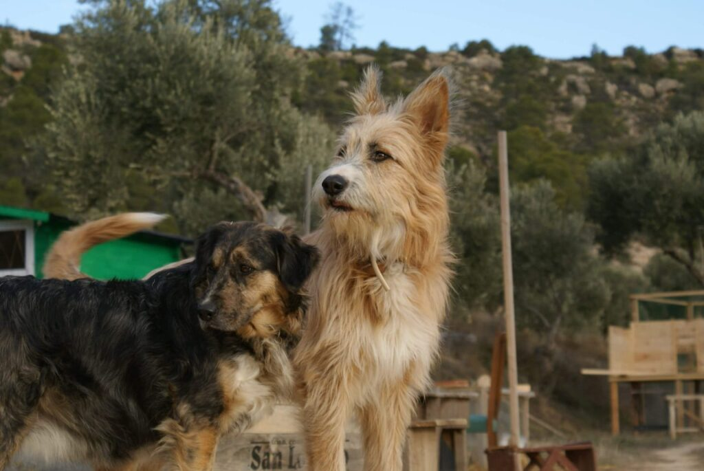 Molly and Babs, two of our dogs, finca guardians and premium poo makers.