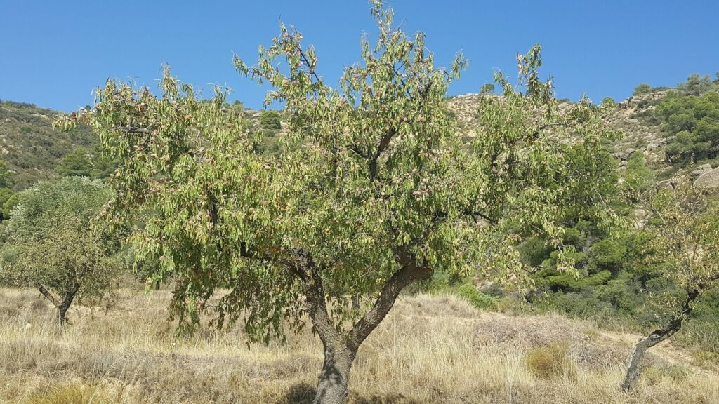 One of our beautiful trees, dripping in almonds