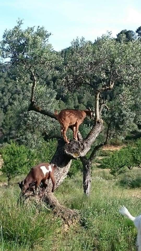 Baby goats are so nimble, they love jumping up on a tree to reach the best leaves